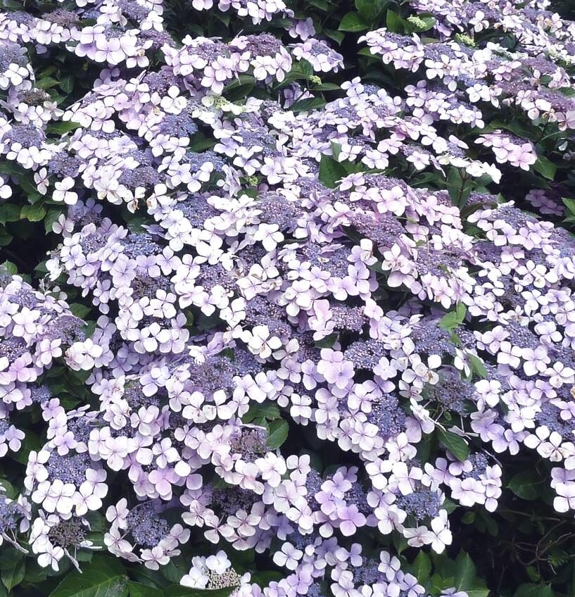 Hortenzija robainā Bluebird /Hydrangea serrata Bluebird/