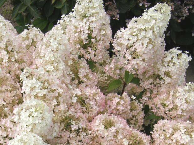 Hortenzija skarainā Bobo /Hydrangea paniculata Bobo/