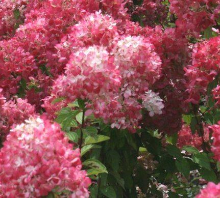 Hortenzija skarainā Diamant Rouge /Hydrangea paniculata Diamant Rouge/