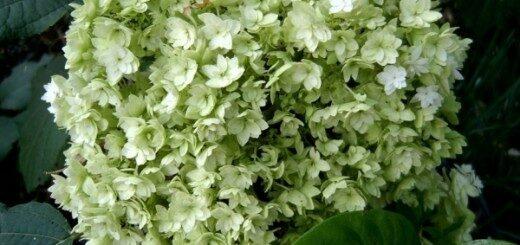 Hortenzija kokveida Hayes Sttarburst /Hydrandrea arborescens Hayes Starburst/