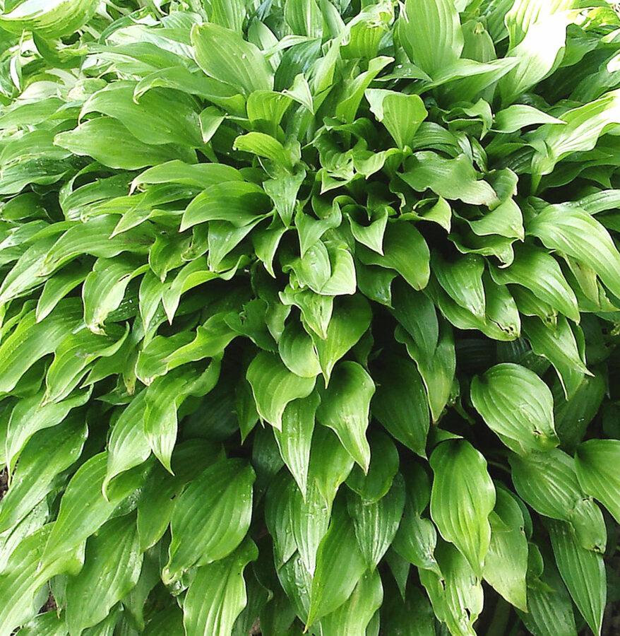 Hosta šaurlapu /Hosta lancifolia/