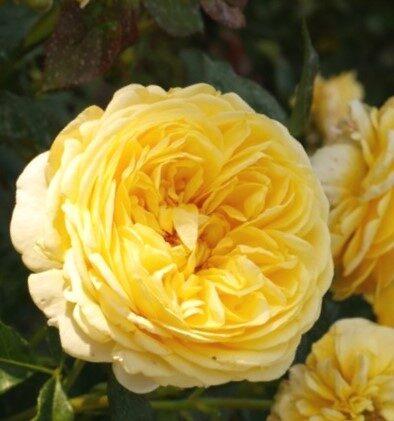Floribundroze Inka /Rosa/