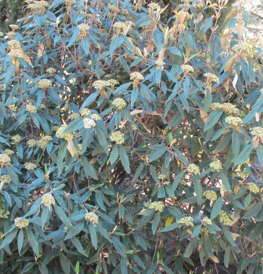 Irbene rievainā (grumbainā) /Viburnum rhytidophyllum/