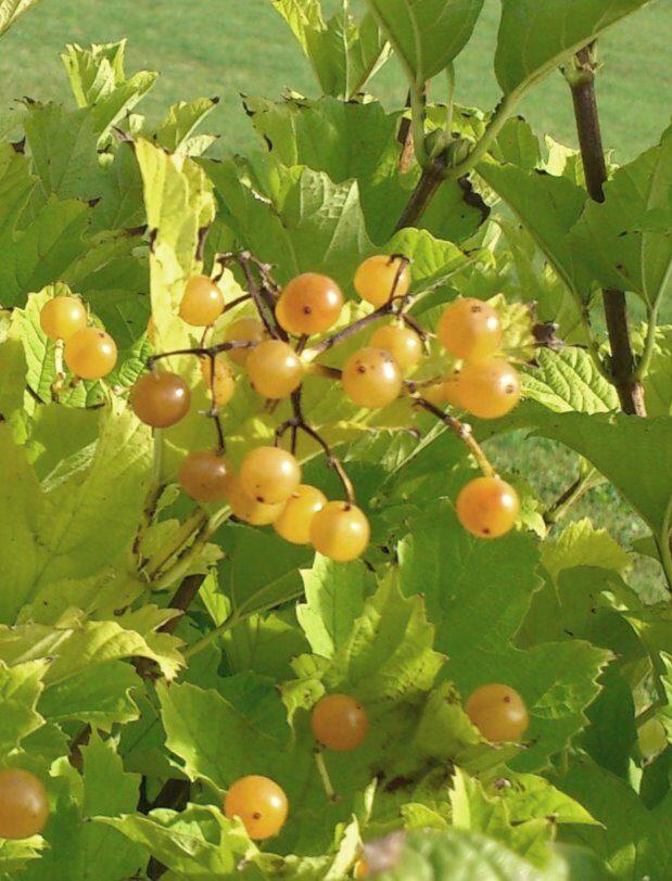 Irbene parastā Xanthocarpum /Viburnum opulus Xanthocarpum/