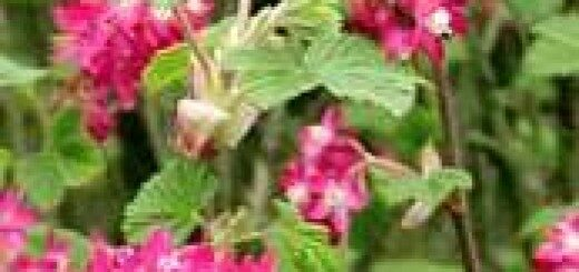 Jāņoga Asinssarkanā /Ribes sanquineum/