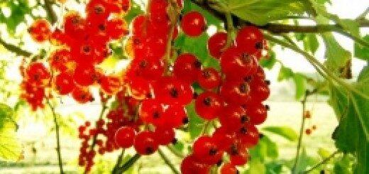 Jāņogas Holandes Sarkanās/Ribes/