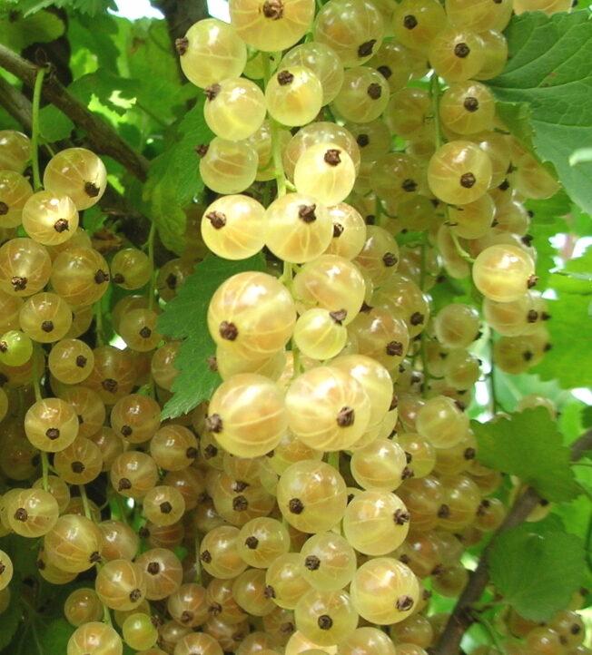 Jāņogas baltās Bajana /Ribes/