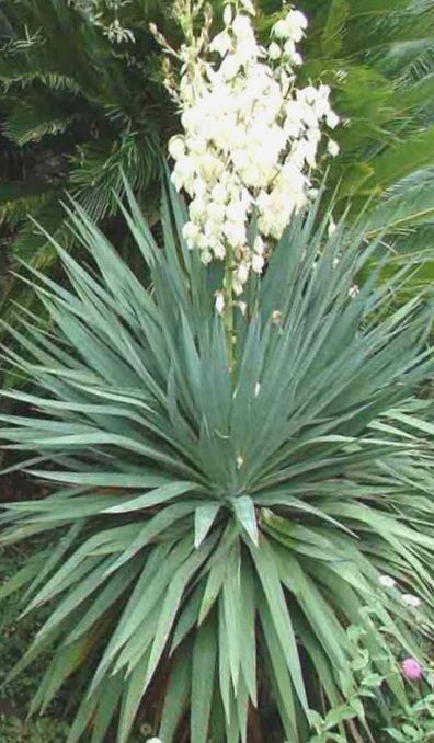 Juka diegveida /Yucca filamentosa/