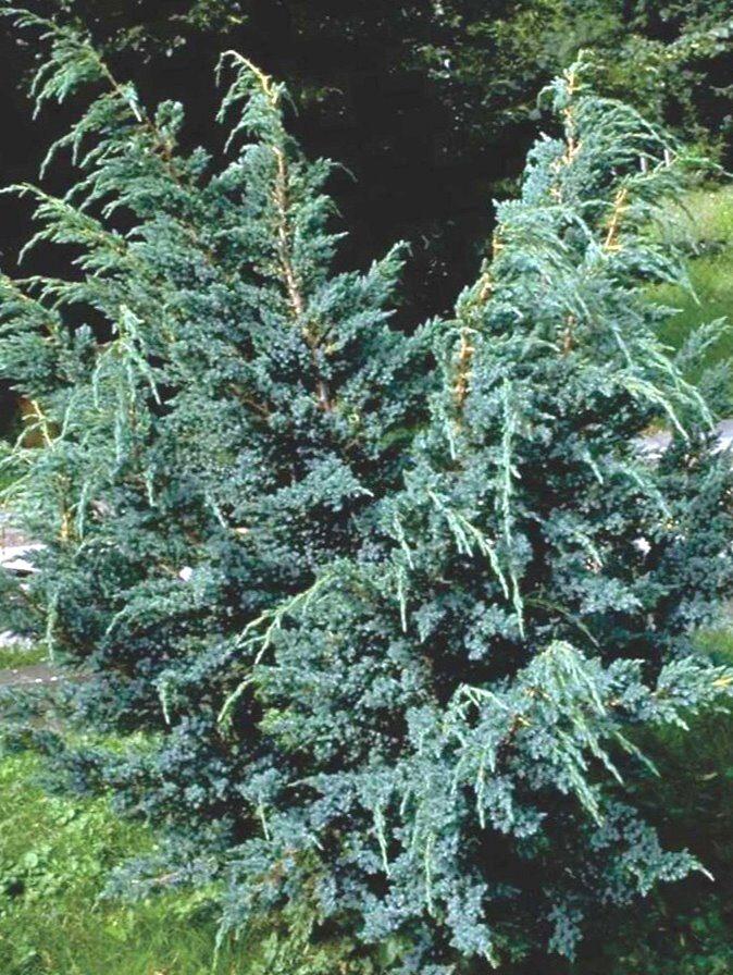 Kadiķis Ķīnas Blue Alps /Juniperus chinensis Blue Alps/