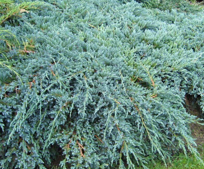 Kadiķis Zvīņainais Blue Carpet /Juniperus squamata Blue Carpet/