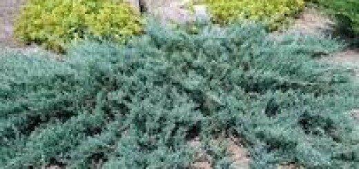 Kadiķis klājeniskais Blue Chip /Juniperus horizontalis Blue Chip/
