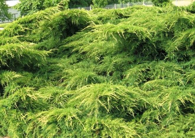Kadiķis Ficera (vidējais) Pfitzeriana Aurea /Juniperus pfitzeriana Pfitzeriana Aurea/