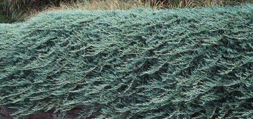 Kadiķis klājeniskais Glauca Major /Juniperus horizontalis Glauca Major/
