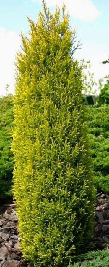 Kadiķis parastais Gold Cone /Juniperus communis Gold Cone/