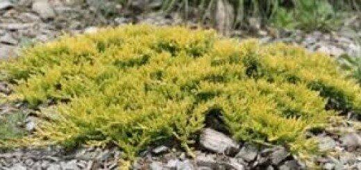 Kadiķis klājeniskais Golden Carpet /Juniperus horizontalis Golden Carpet/