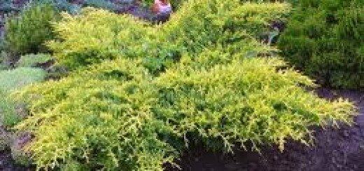 Kadiķis Ficera (vidējais) Gold Star /Juniperus pfitzeriana Gold Star/