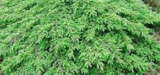 Kadiķis parastais Green Carpet /Juniperus communis Green Carpet/