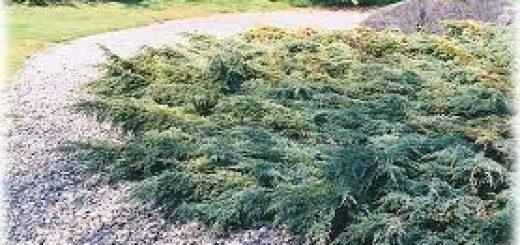 Kadiķis Zvīņainais Holger /Juniperus squamata Holger/