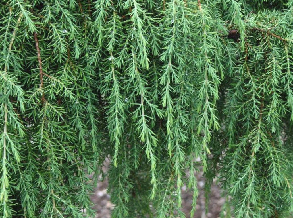 Kadiķis parastais Horstmann /Juniperus communis Horstmann syn. Horstmanns Pendula/