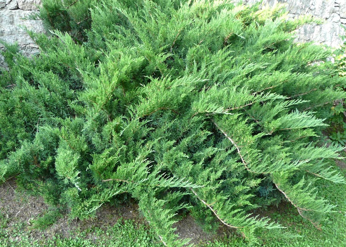 Kadiķis Kazaku /Juniperus sabina/