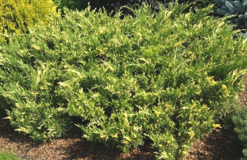 Kadiķis Kazaku Variegata /Juniperus sabina Variegata/