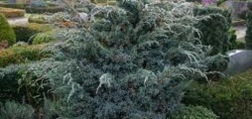 Kadiķis Zvīņainais Meyeri /Juniperus squamata Meyeri/