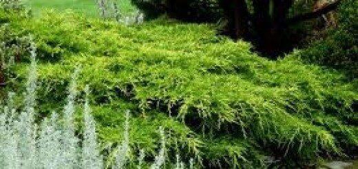 Kadiķis Ficera (vidējais) Old Gold /Juniperus x pfitzeriana Old Gold/
