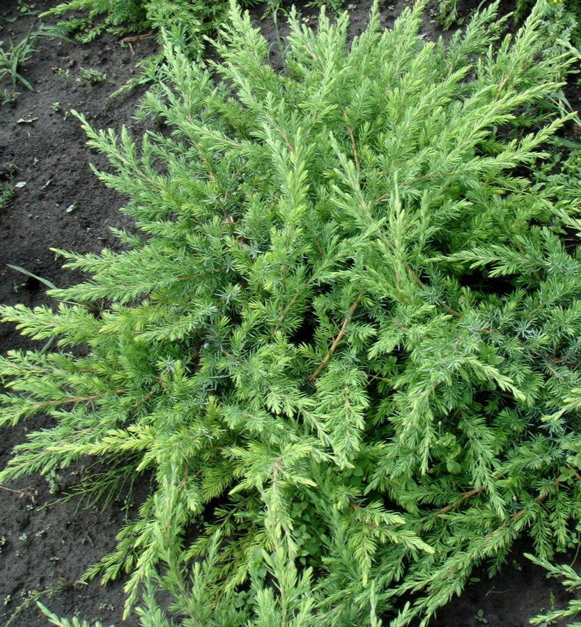 Kadiķis piekrastes Schlager /Juniperus conferta Schlager/