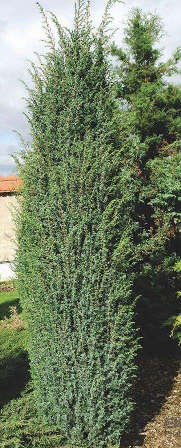 Kadiķis parastais Suecica /Juniperus communis Suecica/