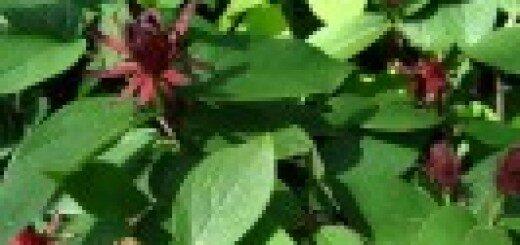 Kalikants daudzziedu /Calycanthus floridus/
