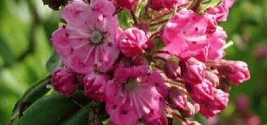 Kalmija šaurlapu /Kalmia angustifolia/
