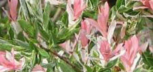 Kārkls Gludmalu Hakuro Nishiki /Salix integra Hakuro Nishiki/