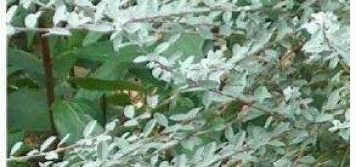 Kārkls Ložņu Nitida /Salix repens Nitida/