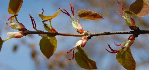 Katsura Japānas /Cercidiphyllum japonicum/