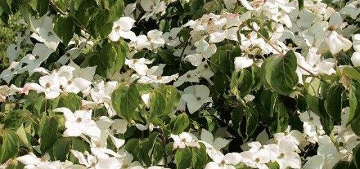 Grimonis Ķīnas /Cornus cuosa var. chinensis/