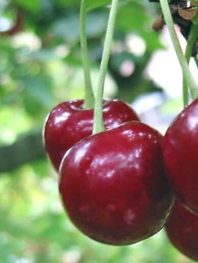 Ķirsis skābais Desertnaja Morozovoi /Prunus cerasus/