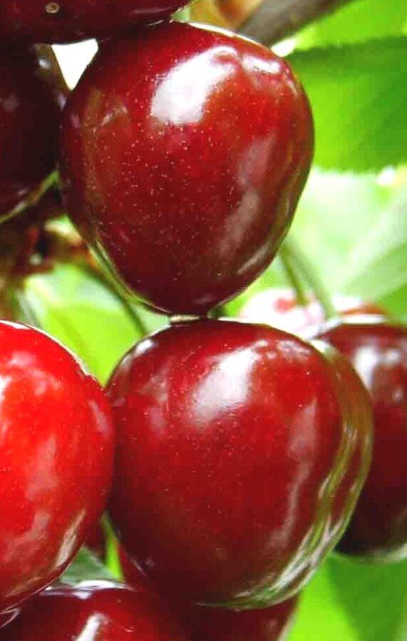 Ķirsis saldais Stella /Prunus avium/