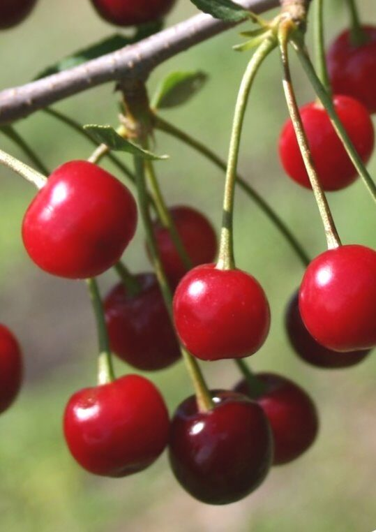 Ķirsis skābais Tamaris /Prunus cerasus/