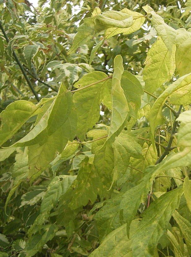 Kļava ošlapu Aureomarginatum /Acer negundo Aureomarginatum/