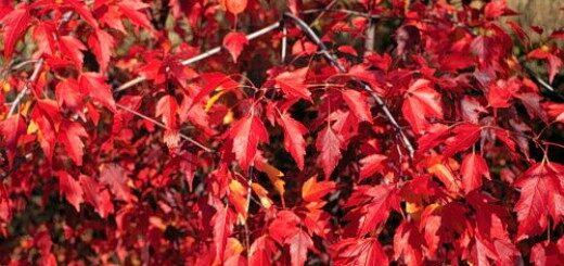 Kļava Bērzlapu /Acer tetramerum var.betulifolium/