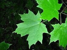 Kļava cukura /Acer saccharum/