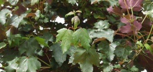Kļava Kalnu Purpurascens /Acer pseudoplatanus Purpurascens/