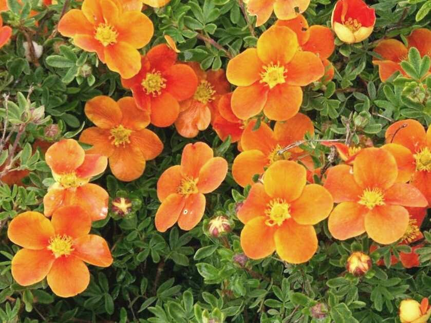 Klinšrozīte parastā Red Robin /Potentilla fruticosa Red Robin/