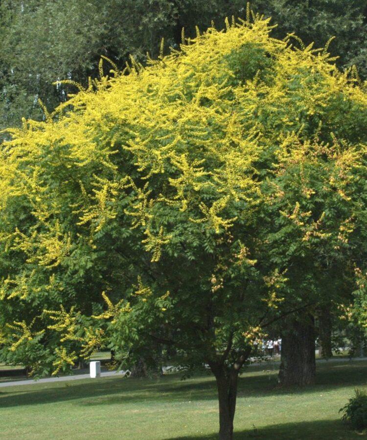 Kolreitērija /Koelreuteria paniculata/