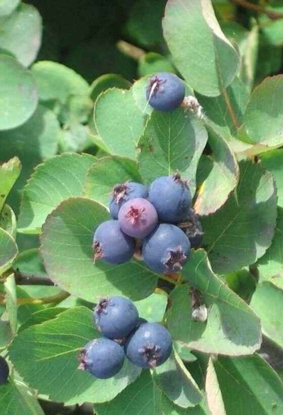 Korinte apaļlapu /Amelanchier rotundifolia/