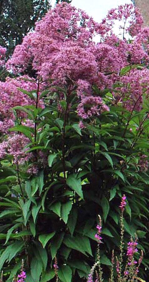 Krastkaņepe purpura Atropurpureum /Eupatorium fistulosum Atropurpureum/