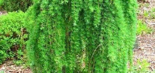 Lapegle Pendula augststumbra /Picea Larix Pendula/