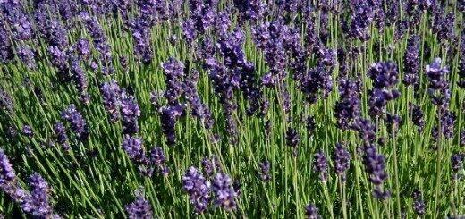 Lavanda Šaurlapu /Lavandula angustifolia/