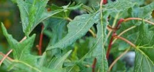 Liepa platlapu Laciniata /Tilia platyphyllos Laciniata/