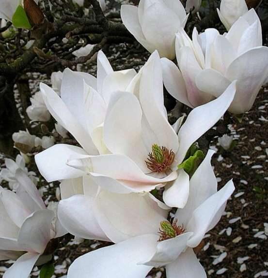 Magnolija Kobus /Magnolia kobus/